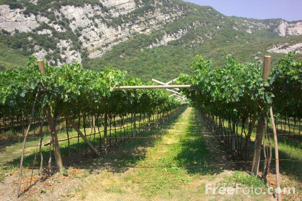 Picture of Vineyard, Lake Garda, Italy - Vigna, Lago di Garda, Italia - Free Pictures - FreeFoto.com