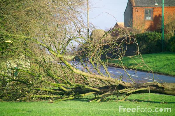 Picture of Tree blown over by Gale Force Winds - Free Pictures - FreeFoto.com