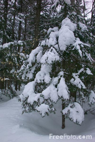 Picture of Snow covered tree - Free Pictures - FreeFoto.com