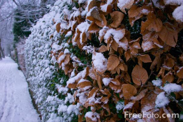 Picture of Snow covered hedge - Free Pictures - FreeFoto.com