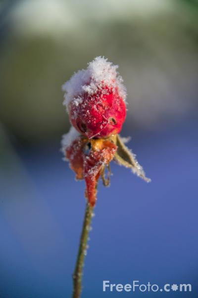 Picture of Rose in the Snow - Free Pictures - FreeFoto.com