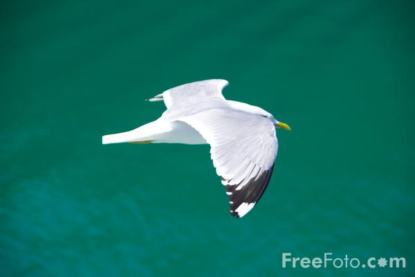 Picture of Sea Bird, Aurlandsfjord, Norway - Free Pictures - FreeFoto.com