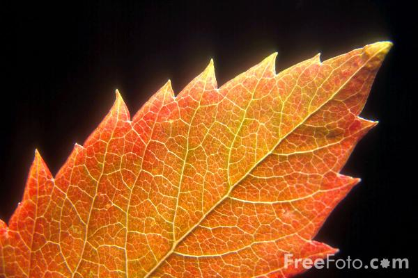 Picture of Autumn Leaf Free