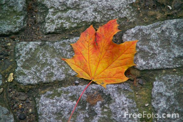 Picture of Autumn Leaf - Free Pictures - FreeFoto.com
