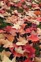 Image Ref: 19-05-52 - Autumn color in New England, Viewed 5678 times