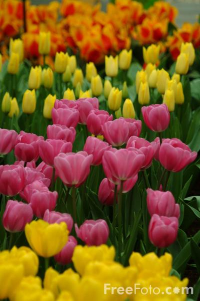 Picture of Tulips - Free Pictures - FreeFoto.com