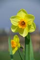 Image Ref: 19-12-102 - Daffodils, Viewed 6404 times