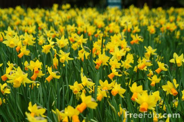 free daffodil photos 80 motocross wallpapers