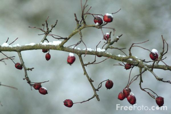 Picture of Winter Time Berries - Free Pictures - FreeFoto.com