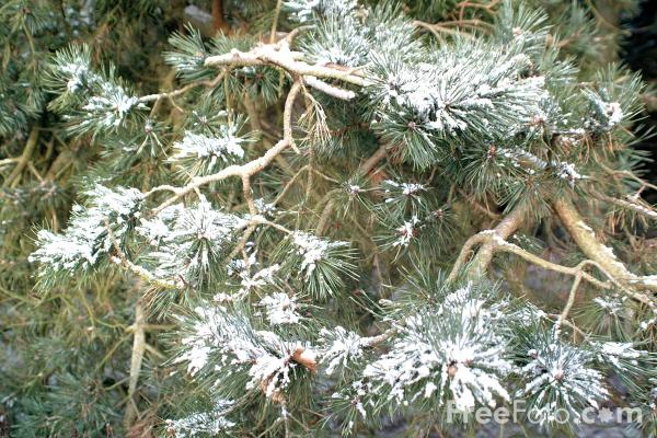 Picture of Christmas Tree branch covered in snow - Free Pictures - FreeFoto.com