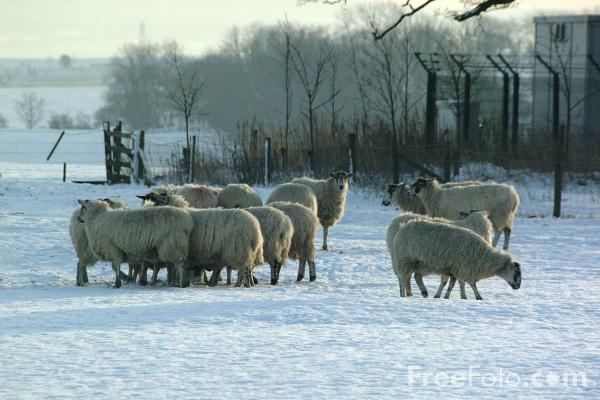 Picture of Sheep in the snow, Northumberland, England - Free Pictures - FreeFoto.com