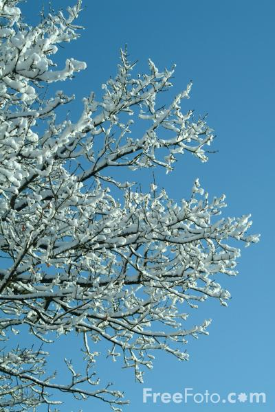 Picture of Snow Covered Tree Branches - Free Pictures - FreeFoto.com