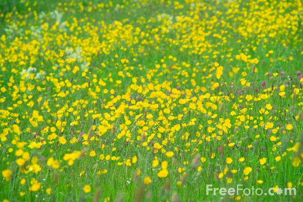 Picture of Summer Meadow - Free Pictures - FreeFoto.com