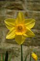 Daffodil, Spring 2003 has been viewed 9816 times