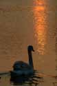 Swan at Sunset has been viewed 7487 times