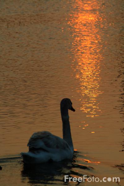 Picture of Swan at Sunset - Free Pictures - FreeFoto.com