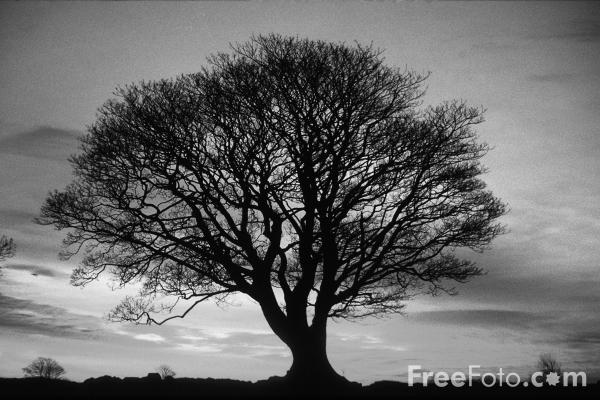 black and white tree photos. Black and White photograph of