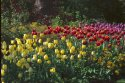Tulips, St James's Park, London has been viewed 16474 times