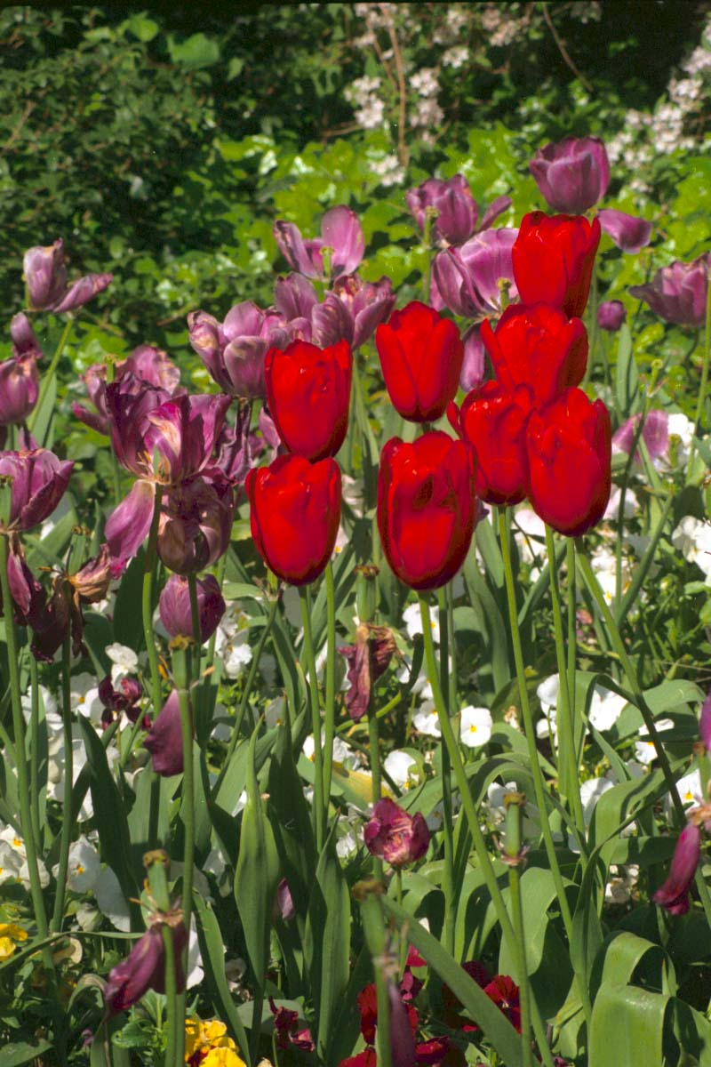 Picture of Tulips, St James's Park, London - Free Pictures - FreeFoto.com