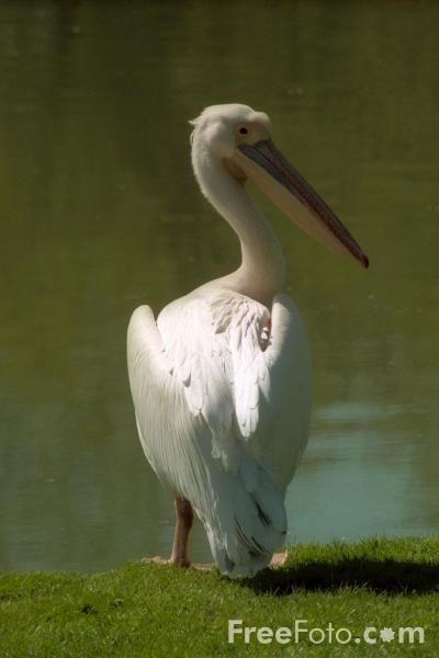 Picture of Pelican, St James's Park, London - Free Pictures - FreeFoto.com