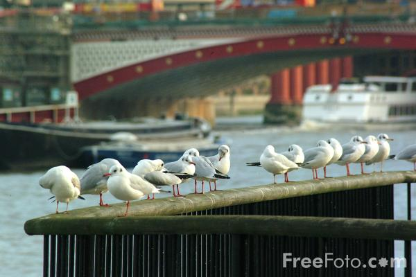 Picture of Seagulls, The River Thames, London - Free Pictures - FreeFoto.com