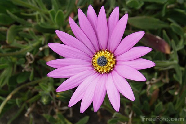 Picture of Pink Daisy with Yellow Center - Free Pictures - FreeFoto.com