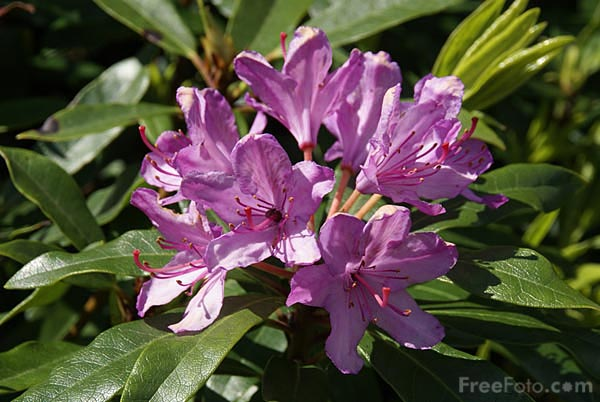 Picture of Rhododendrons - Free Pictures - FreeFoto.com