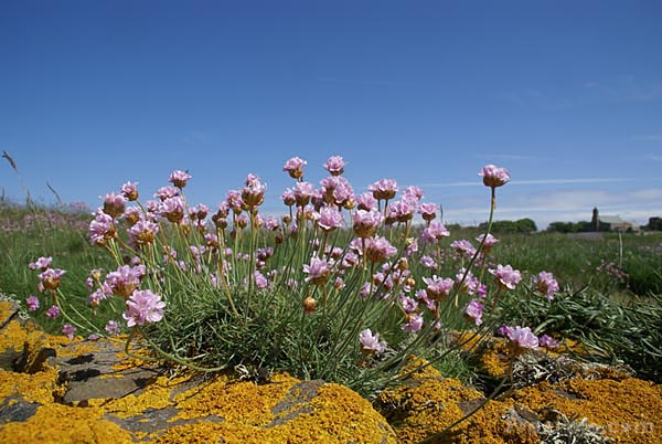 Picture of Sea thrift - Free Pictures - FreeFoto.com