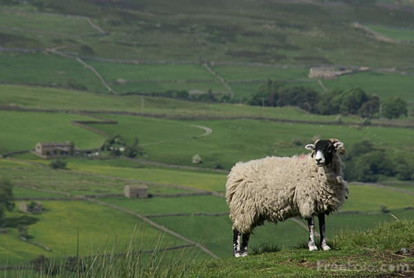 Picture of Swaledale Sheep - Free Pictures - FreeFoto.com