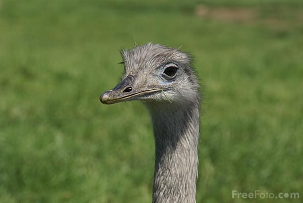 Picture of Ostrich - Free Pictures - FreeFoto.com