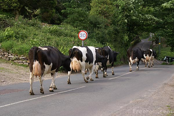 Herd Of Cows. Herd of cows going to be