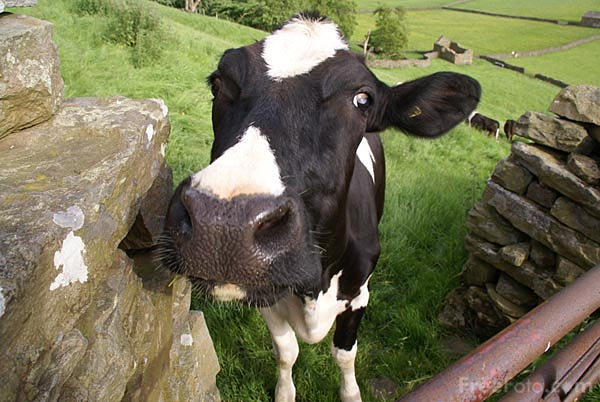 who moved my cow