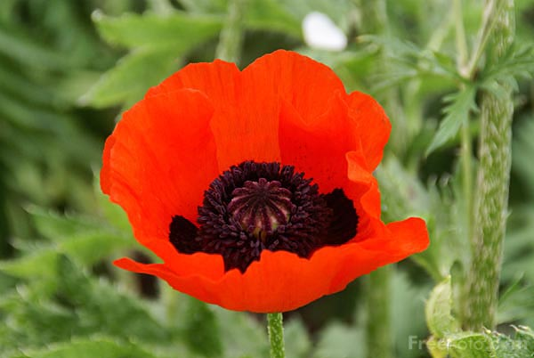 Picture of Red Poppy - Free Pictures - FreeFoto.com
