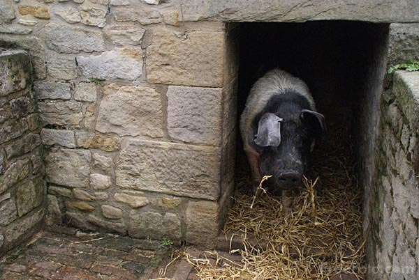 Picture of Pig in a Pigsty - Free Pictures - FreeFoto.com