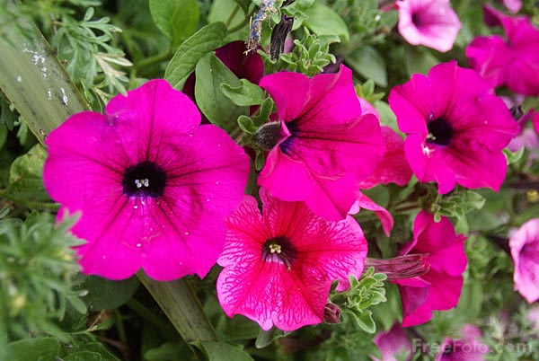 Picture of Hanging Basket Flowers - Free Pictures - FreeFoto.com