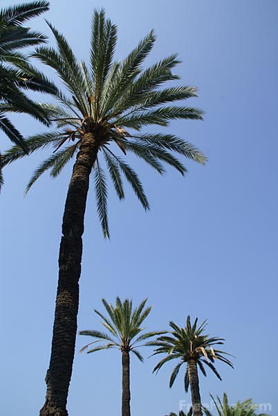 Picture of Palm Trees, Jardin Maria Serena, Menton - Free Pictures - FreeFoto.com