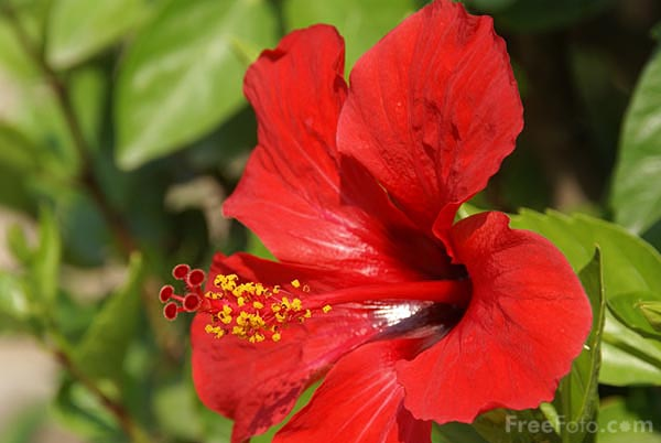 Picture of Red Hibiscus, Jardin Maria Serena, Menton - Free Pictures - FreeFoto.com