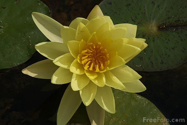 Picture of Yellow Water Lily, Jardin Maria Serena, Menton - Free Pictures - FreeFoto.com