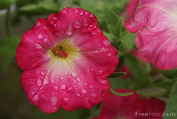 Picture of Convolvulus - Free Pictures - FreeFoto.com