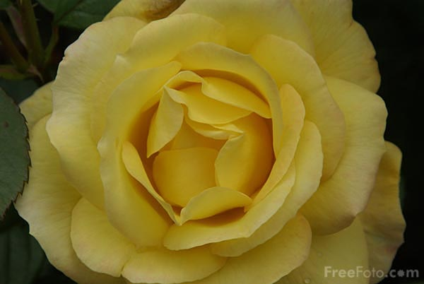 Picture of Yellow Rose - Free Pictures - FreeFoto.com