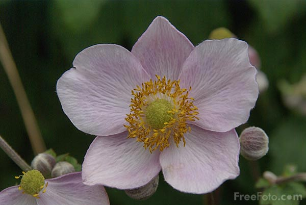 Picture of Anemone - Free Pictures - FreeFoto.com