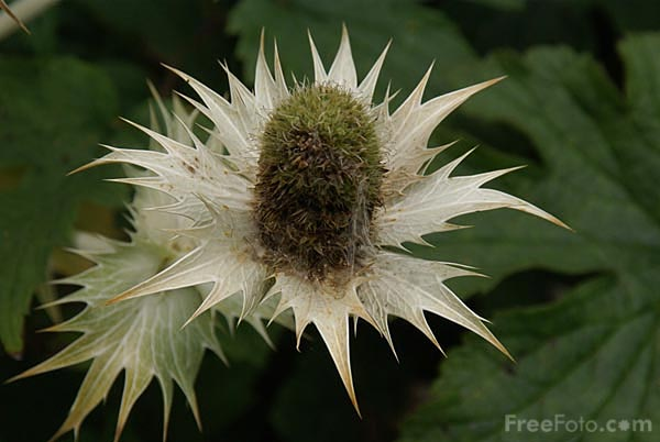 Picture of Thistle - Free Pictures - FreeFoto.com