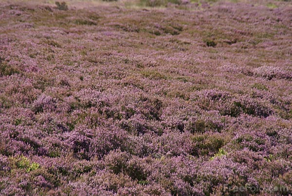 Picture of Moorland Heather - Free Pictures - FreeFoto.com
