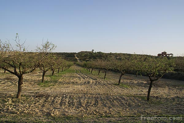 Picture of Olive Grove - Free Pictures - FreeFoto.com