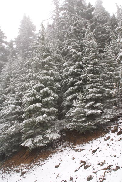 Picture of Snow covered trees - Free Pictures - FreeFoto.com