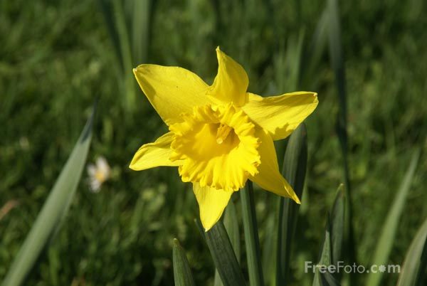 Picture of Daffodil - Free Pictures - FreeFoto.com