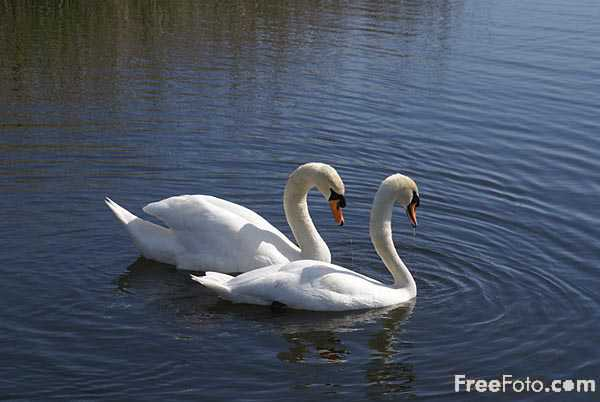 Picture of Swan - Free Pictures - FreeFoto.com