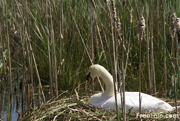 Picture of Swan on a nest - Free Pictures - FreeFoto.com