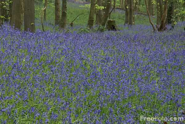 Picture of Bluebells in the woods - Free Pictures - FreeFoto.com