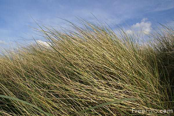 Picture of Dune Grass - Free Pictures - FreeFoto.com